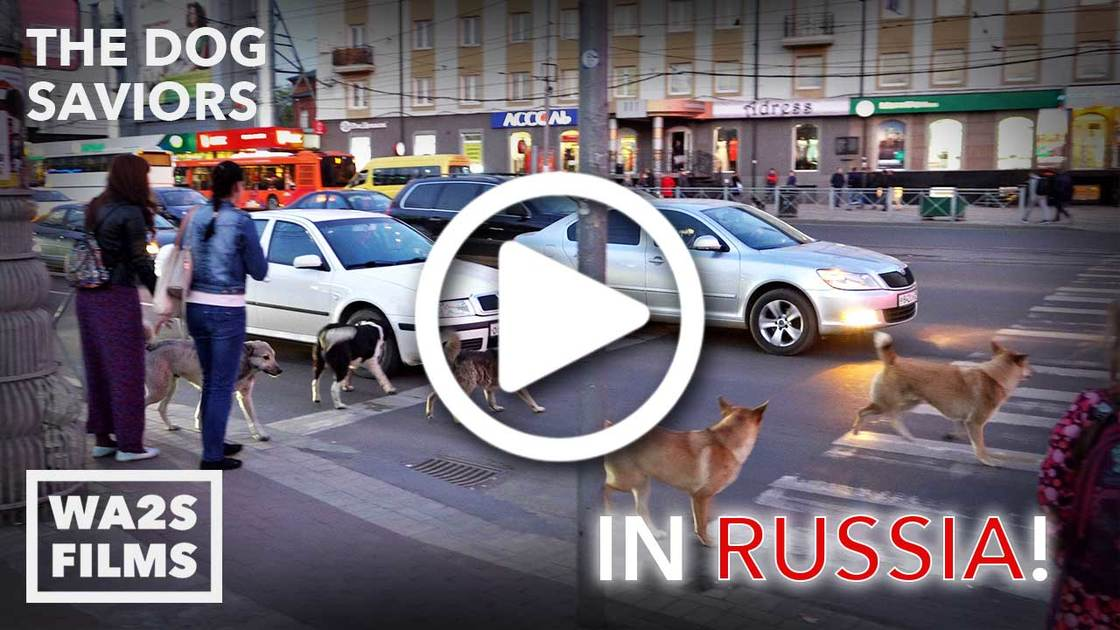 WA2S Films in Russia Quantifying Stray Dogs Before the World Cup #BloodyFifa2018